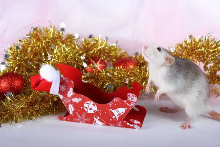 Cute gray domestic rat in a New Years decor. Symbol of the year 2020 is a rat. Santas sleigh