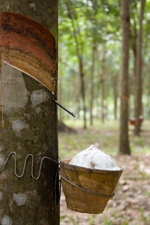 para: Para rubber tree barking agriculture of Thailand Stock Photo