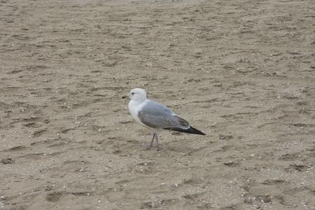 marine bird: Lone seagull on the sand beach