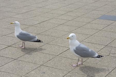 marine bird: Two white gray seagull Stock Photo