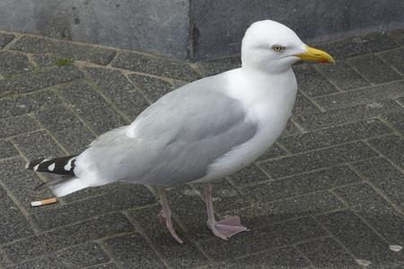 marine bird: Gray gull