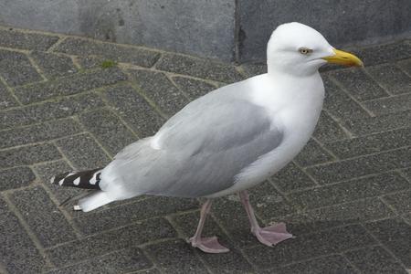marine bird: Gray seagull on pavement