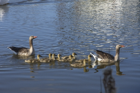 Gooses with their young ones swimming on the lake Stockfoto