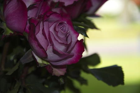 polen: Pink rose flower