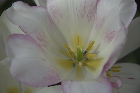 pistils: Closeup of the white tulip pistils