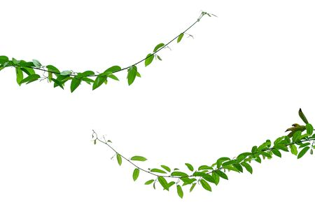 The vine with green leaves twisted separately on a white background. Archivio Fotografico