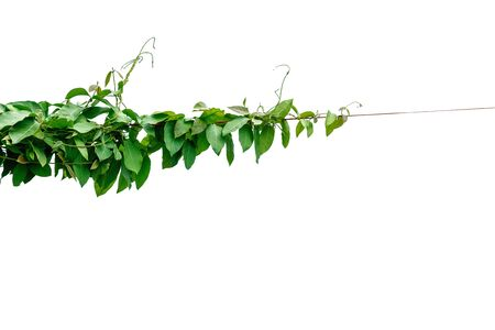 The vine with green leaves twisted separately on a white background. Stock fotó