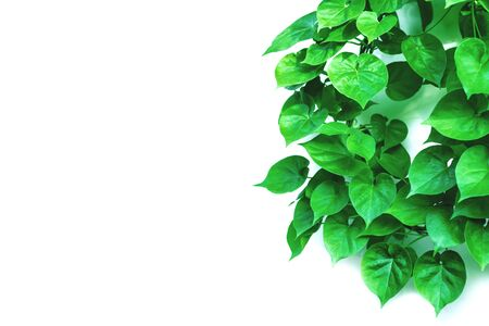 Vine with green leaves, heart shaped, twisted separately on a white background Banque d'images