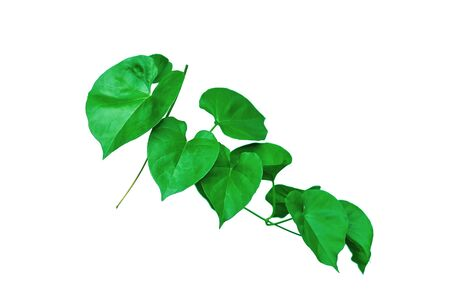 Vine with green leaves, heart shaped, twisted separately on a white background