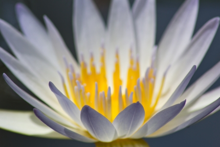 Closeup Shot of Blue Petal Lotus. photo