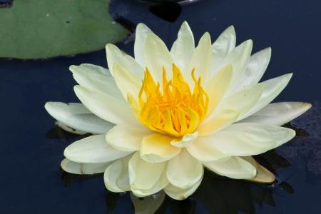 Closeup Shot of Light-Yellow Petal Lotus in the Pool. Stock Photo - 15570252