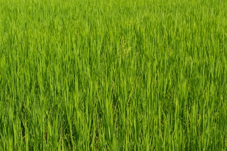 Green Rice Field in a bright day, Thailand  photo