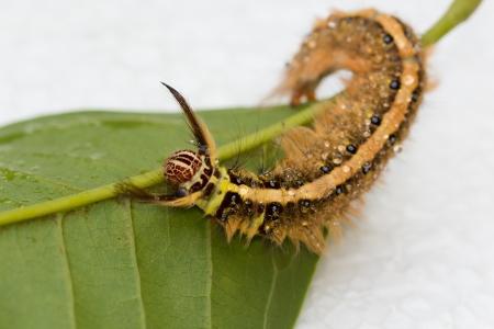 clawing: Hairy Brown Caterpillar Artigliare sulla foglia verde.