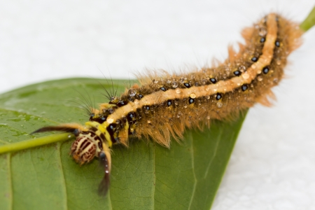 clawing: Hairy Brown Caterpillar Clawing on the green leaf.