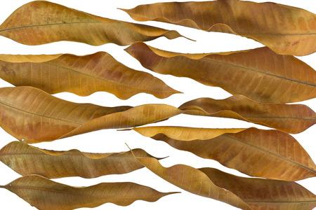 toter baum: Dry Mango Bl�tter auf wei�em