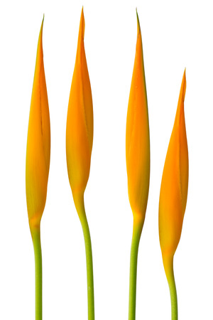 Alan Carle, Heliconia flower isolated on white background Stok Fotoğraf - 36375684