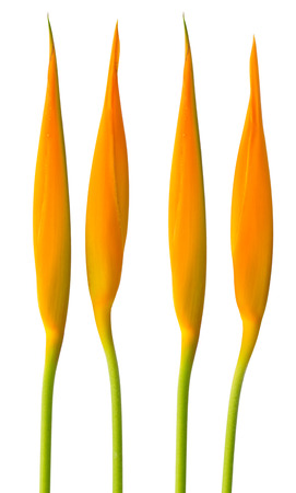 Alan Carle, Heliconia flower isolated on white background and clipping path Stock Photo