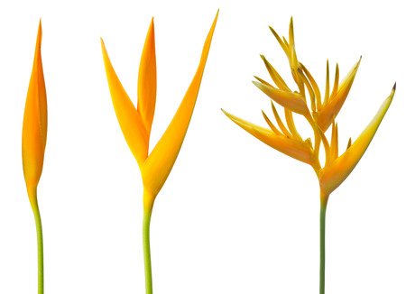 alan: Alan Carle, Heliconia flower isolated on white background and clipping path Stock Photo