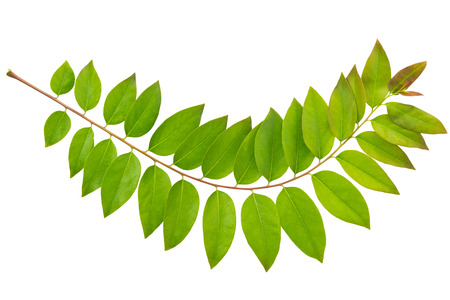 star path: Otaheite gooseberry or star gooseberry leaves isolated on white background and clipping path