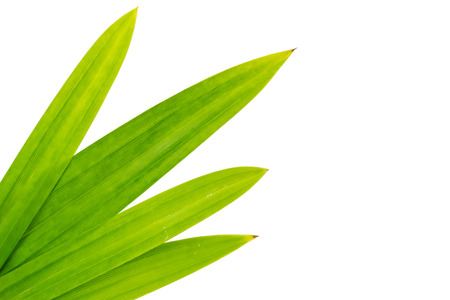 tectorius: Pandanus leaves, isolated on white background and clipping path