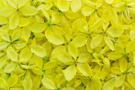 cassia: Cassia fistula known as Golden Shower flowers yellow flowers background Stock Photo