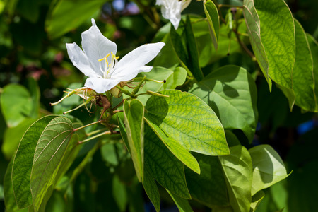 orchid tree: Bauhinia acuminata (scientific name) or Snowy Orchid Tree flower, isolated on white in the garden Stock Photo