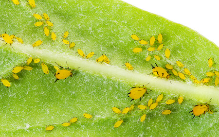 aphid: Olender Aphid or Aphis Nerii, pests on Giant Indian Milkweed Stock Photo