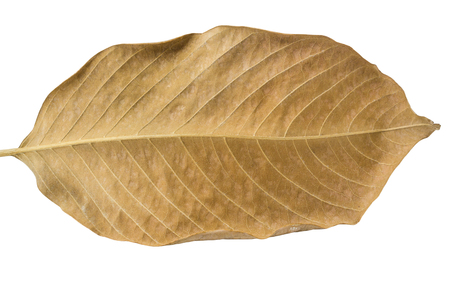 dried leaf: Single dried leaf isolated on white background and clipping path
