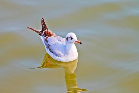 Seagull swimming  photo