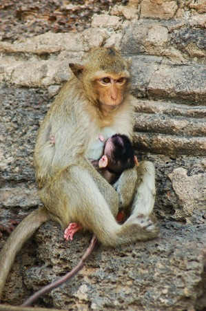 a monkey and baby - Lopburi Thailand