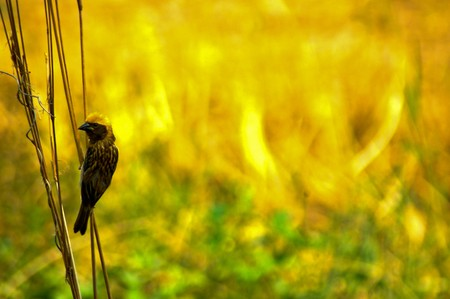 Small bird in front of yellow field Stock Photo - 7126757