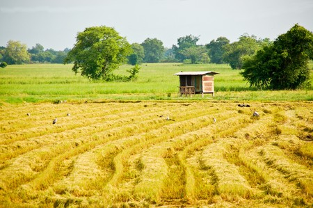 Havested rice field Stock Photo - 7363379