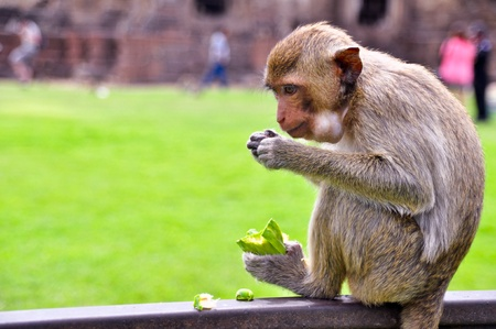 Monkey eats a carbuncle