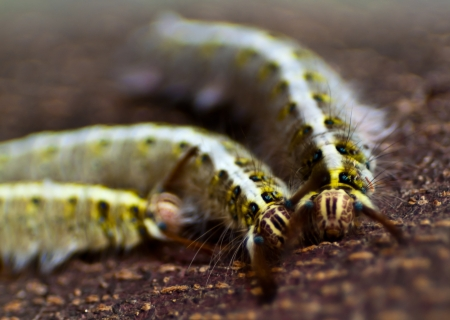 squash bug: Three unusual worms - Close up Stock Photo