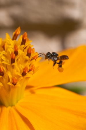 Working bee in front of yellow flower photo