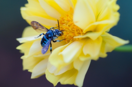 Blue working bee - close up Stock Photo - 16302875