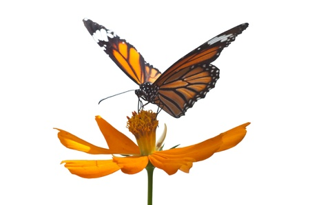 A common butterfly isolated Stock Photo - 16404401