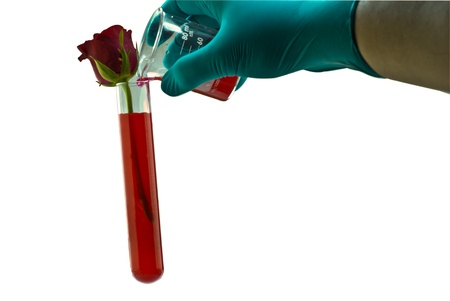 Watering the red rose in the test tube on white background Stock Photo