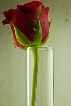 Red rose in the test tube photo