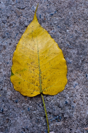 A yellow pipal leaf on concrete floor
