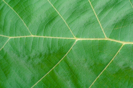 Teak leaf close up Stock Photo