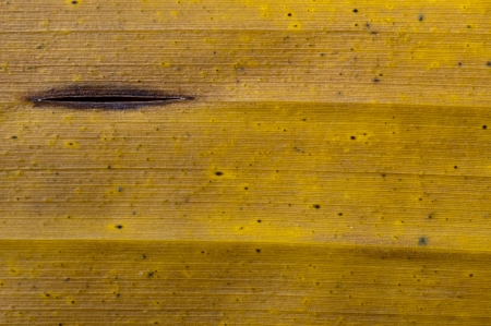 Yellow banana leaf close up photo