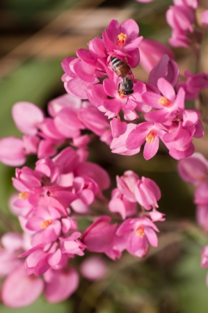A bee in pink flowers photo