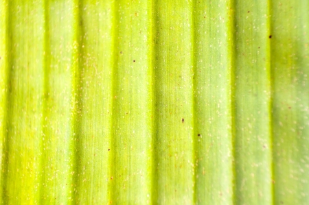 Light green banana leaf close up photo