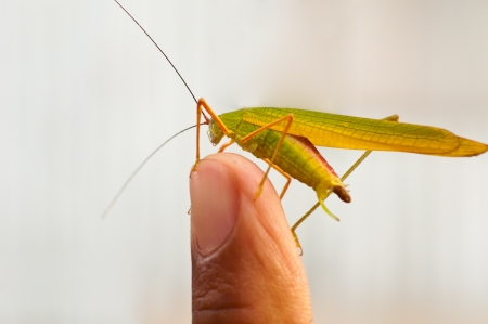 Grasshopper on point finger - close up Stock Photo - 17099247