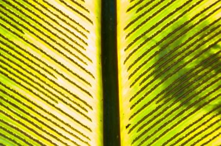 brighten: A brighten spore on fern leaf - close up