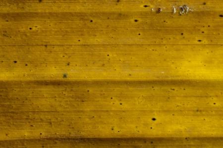 banana leaf: Yellow banana leaf close up
