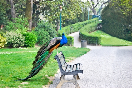 A peacock in the park
