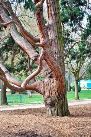 The pine tree trunk photo