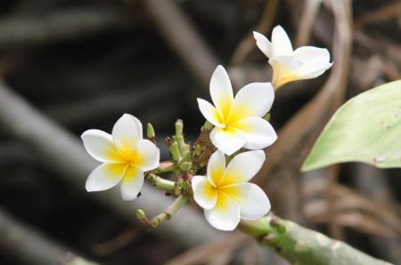 flamboyant: White flowers close up